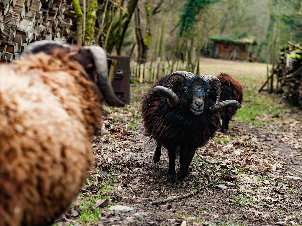 Bed and Breakfast Löffelmühle an der Elz: Unsere Tiere - Schafe